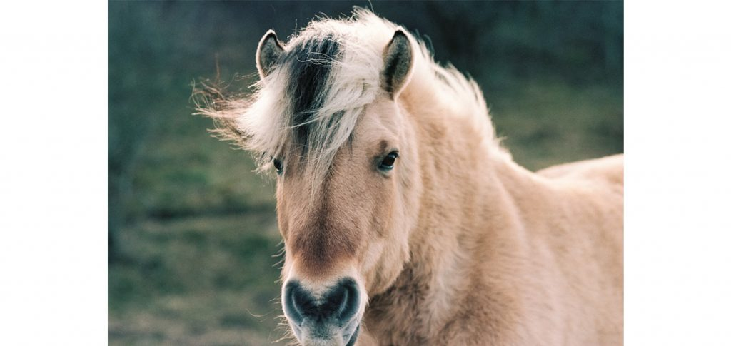 head-horses-hest-häst-equine-horse-equinelife-equinephotography-filmphotography-color-portra-kodak-nikon-f3